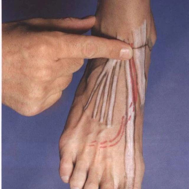 彩绘解剖,让你真切了解肌肉起止