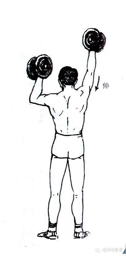 肘关节伸的肌肉——肱三头肌&肘肌