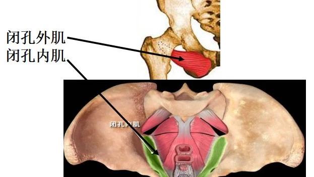 康复考试必背考点012:解剖学—髋关节自由下肢的肌肉(二)