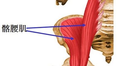 康复考试必背考点011:解剖学—髋关节自由下肢的肌肉(一)