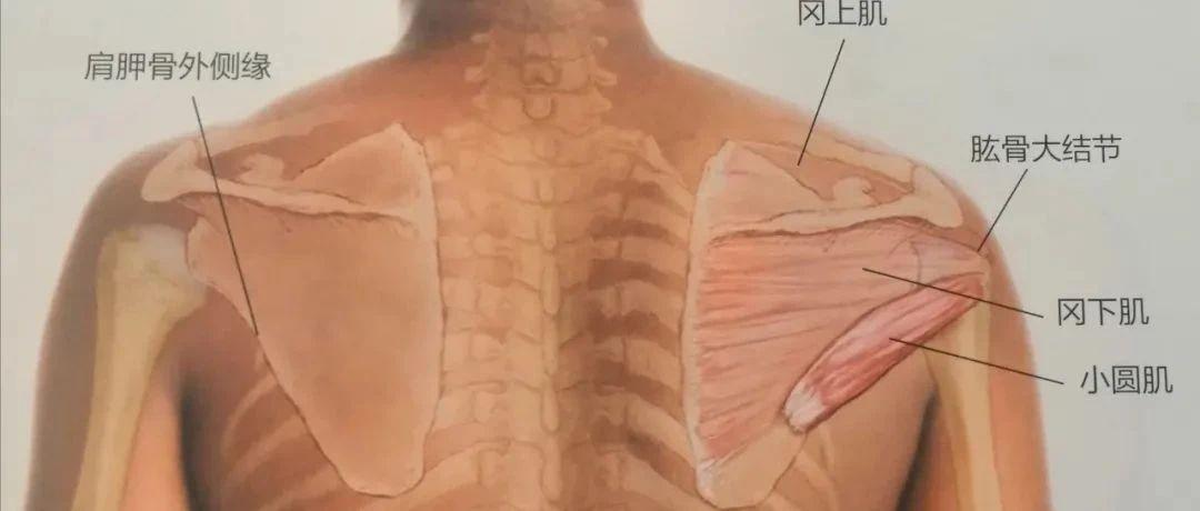 肩痛手麻,肩外旋无力,小圆肌损伤该如何应对和预防?